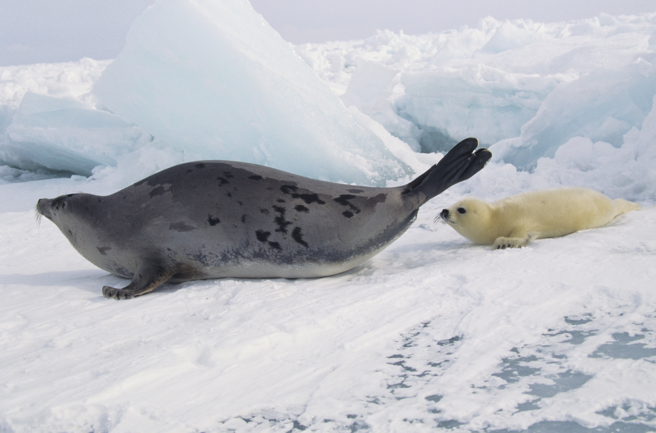 related pictures seal arctic - photo #36