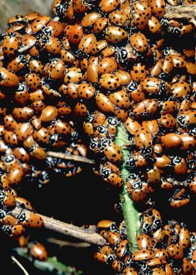 how to kill ladybugs in the house