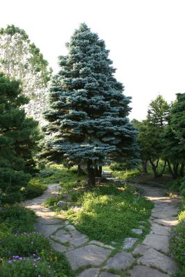 how to transplant blue spruce home guides sf gate