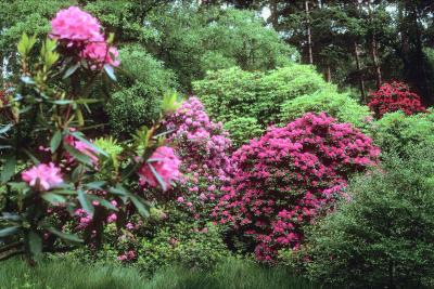Which Shrubs Are Shade Tolerant Home Guides Sf Gate