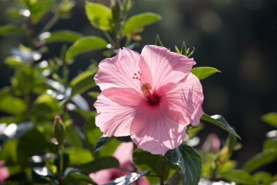 How To Train A Hibiscus Home Guides Sf Gate