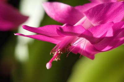 My Christmas Cactus is Wilting | Home Guides | SF Gate