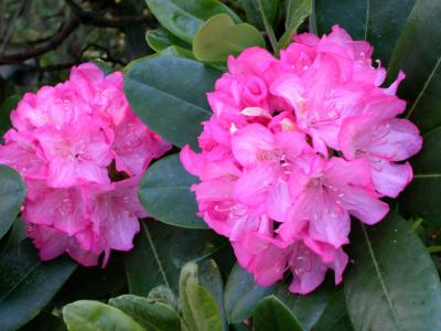 How to grow rhododendrons in containers home guides sf for How to care for rhododendrons after blooming