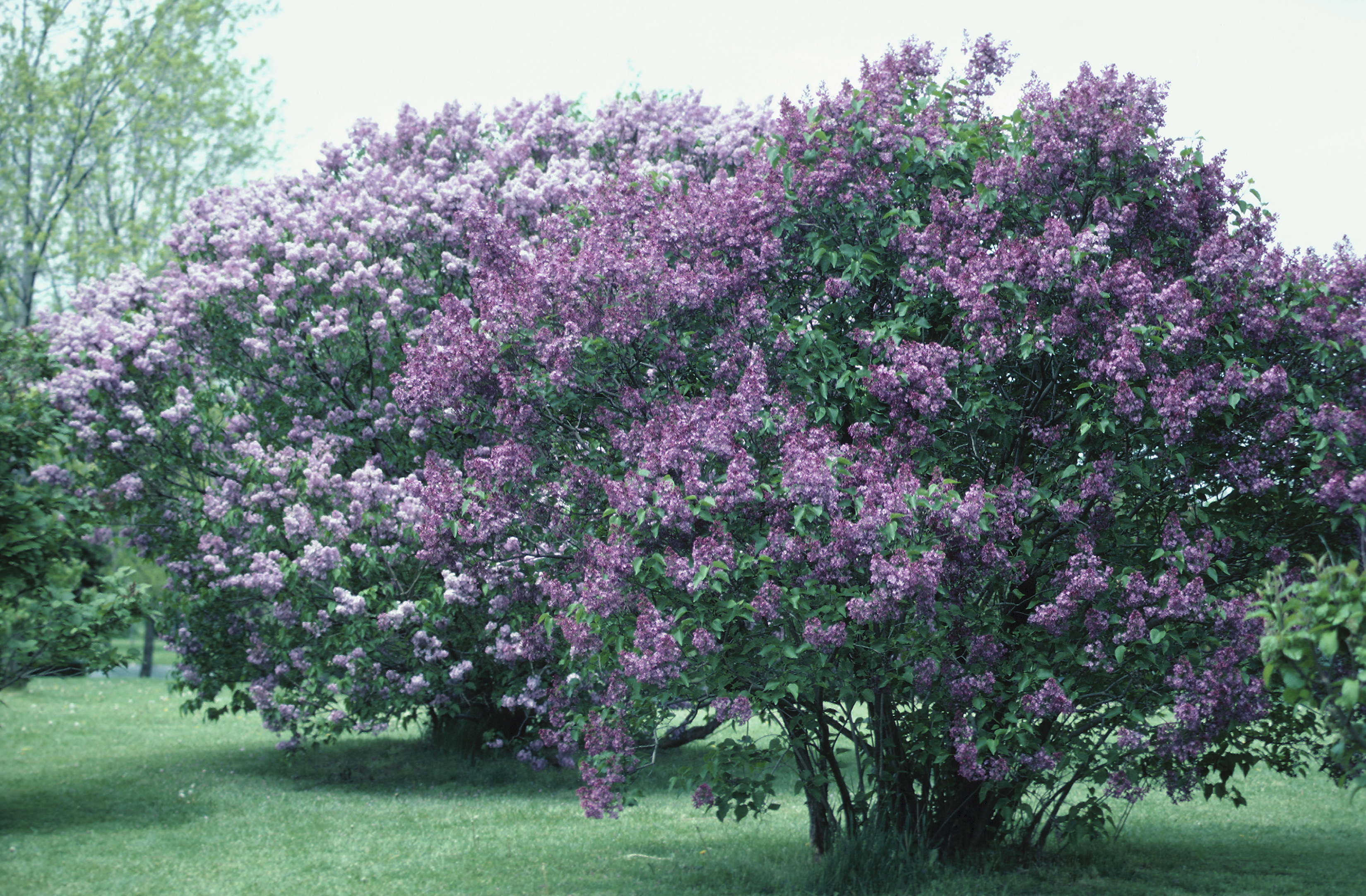 How Big Does A Lilac Bush Get
