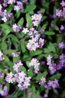 How To Grow Forget Me Nots Indoors Home Guides Sf Gate