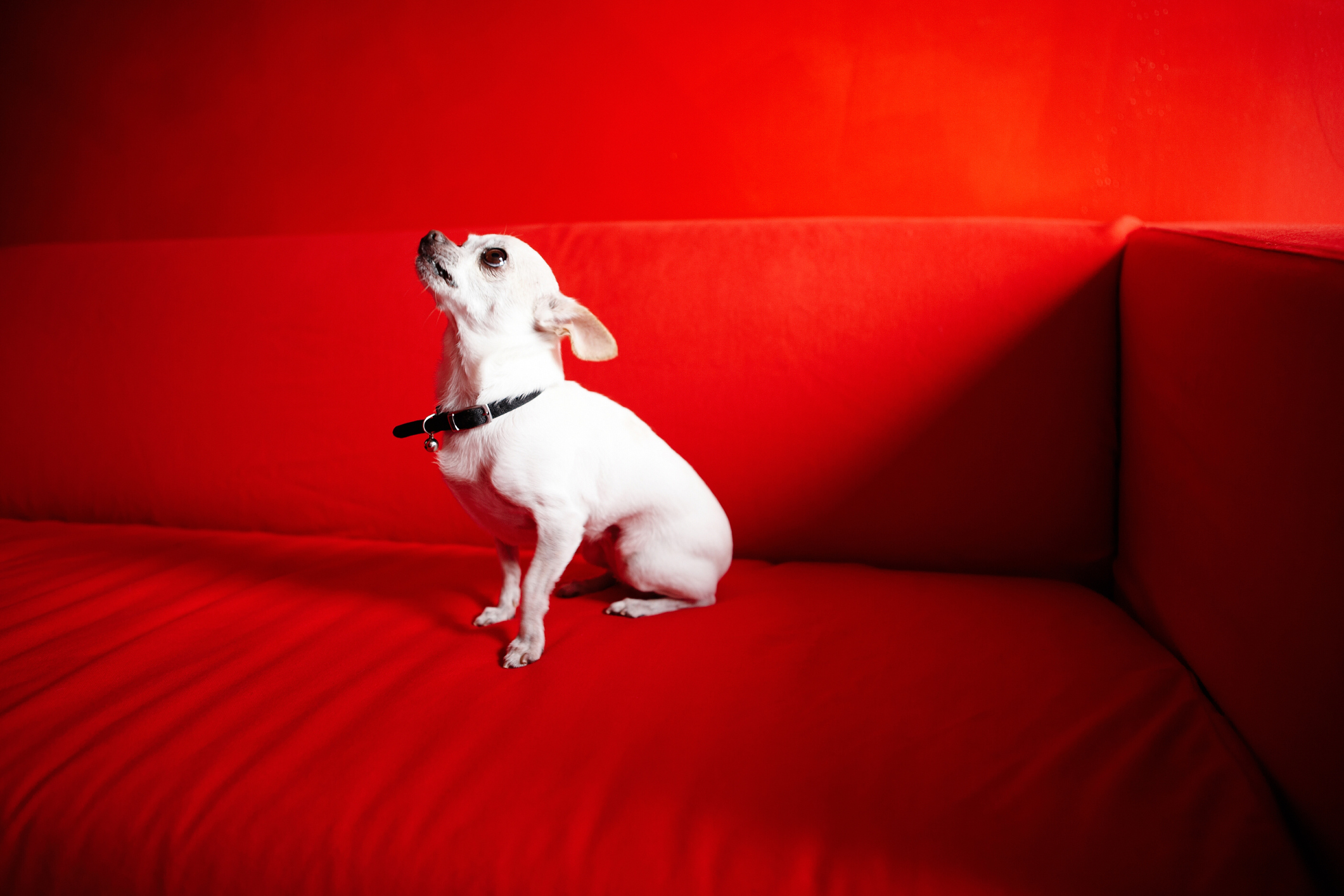 Cuántas Camadas De Cachorros Puede Un Chihuahua Tener En