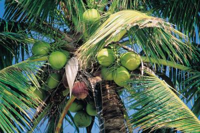 cools fruit what fruit grows on palm trees