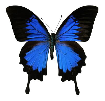 Ulysses Butterfly Facts About the...