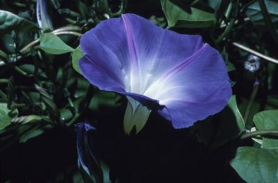 How To Grow Morning Glories In Containers Home Guides