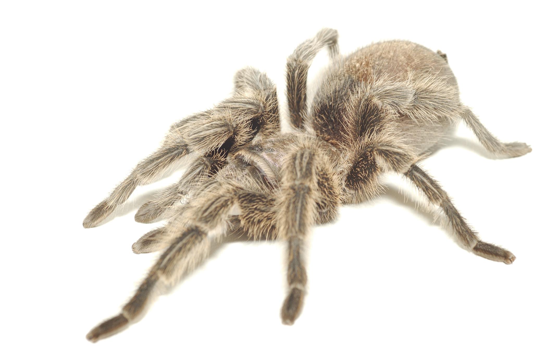 How To Know If A Pet Tarantula Is Sick Animals Mom Com