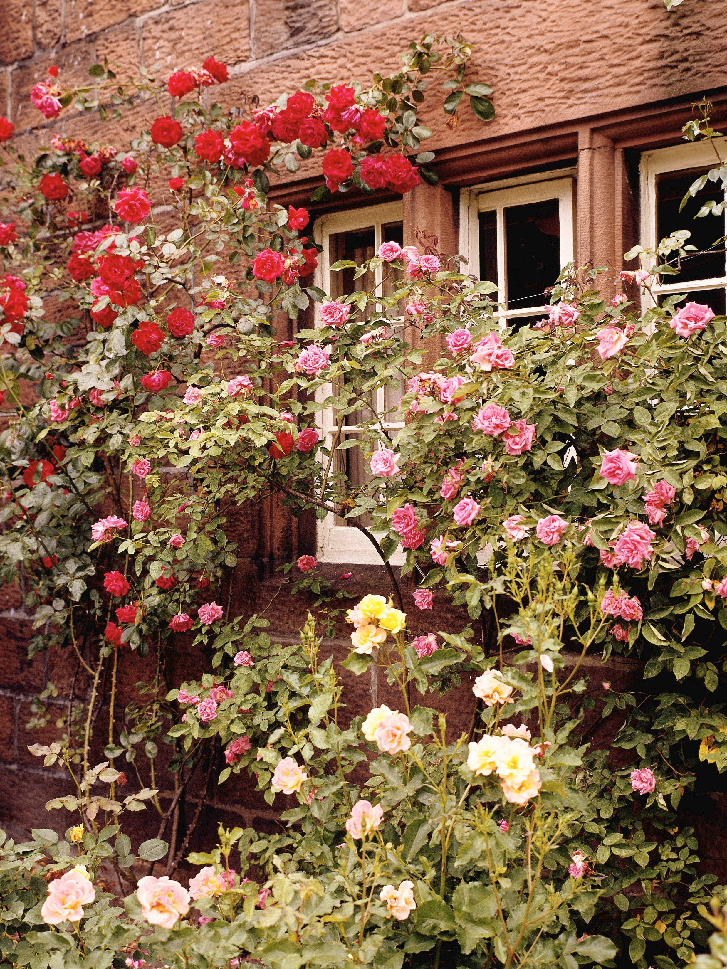 Why Is My Climbing Rose Growing Well But Not Blooming Any