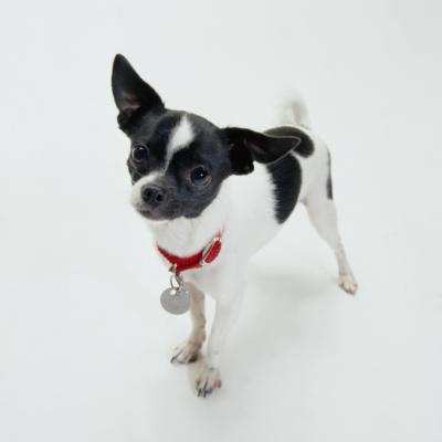 Piebald Spotting On Chihuahuas Pets