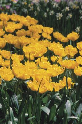 Do Spring Bulbs Still Need Care After They Bloom Home