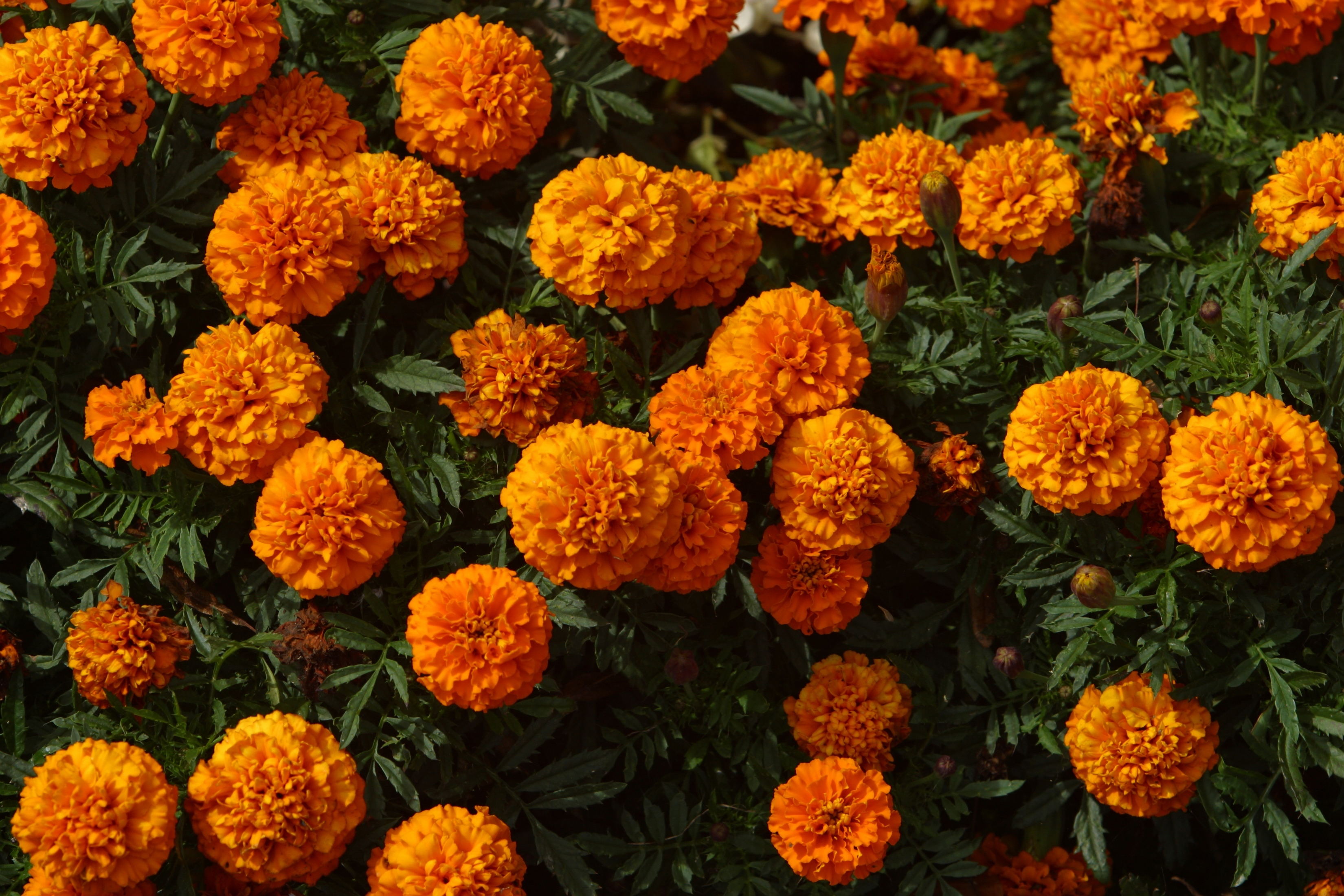 How to plant marigolds in vegetable gardens home guides sf gate - Like that garten ...