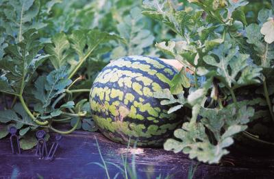 How To Grow Watermelon In A Self Watering Container Home