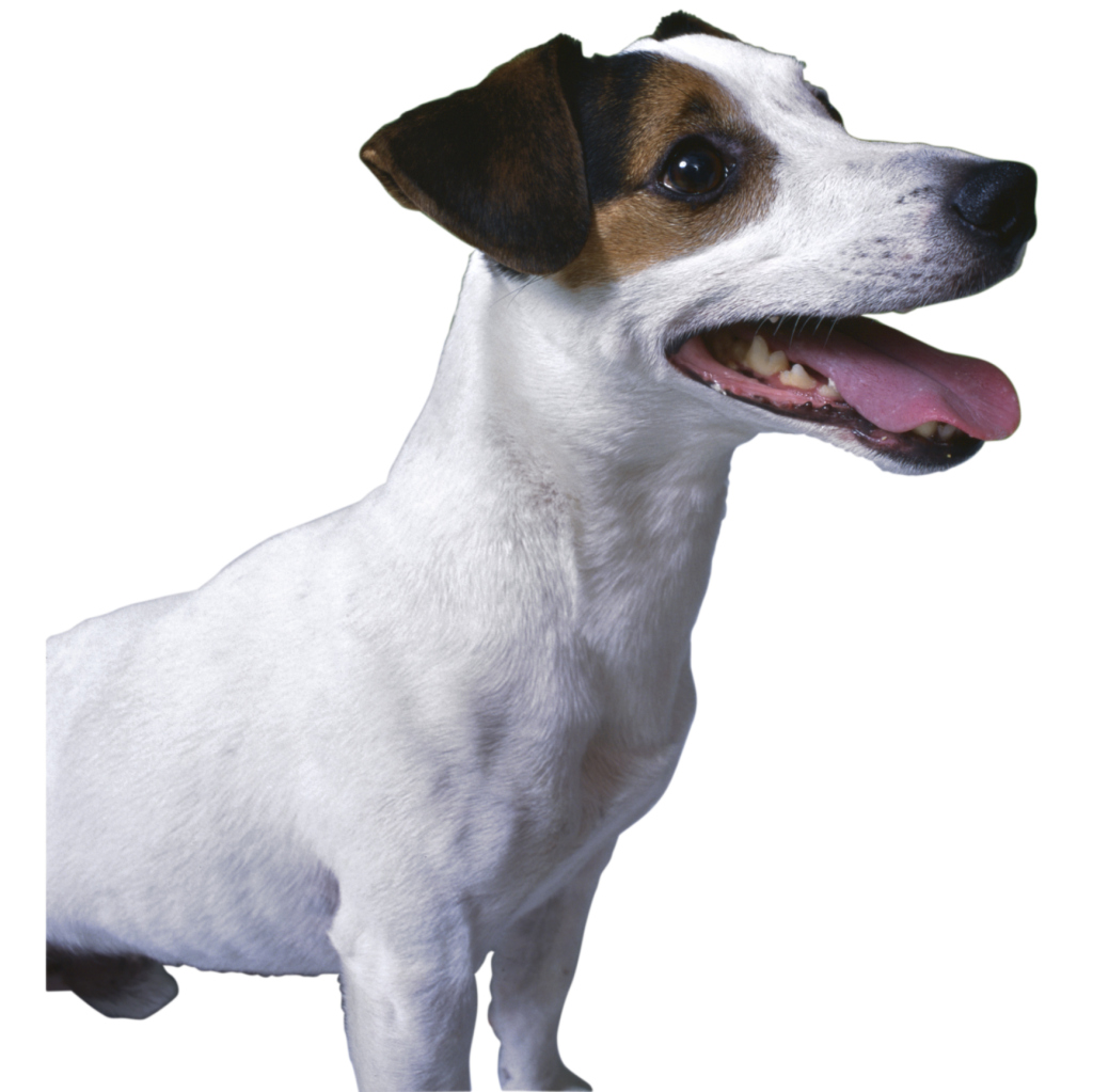 How To Stop Your Jack Russell Barking At Other Dogs