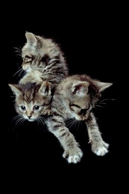 Kittens Eat Solid Food At What Age