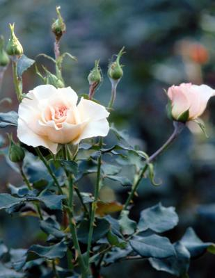 How To Graft Roses Onto Rootstock Home Guides Sf Gate