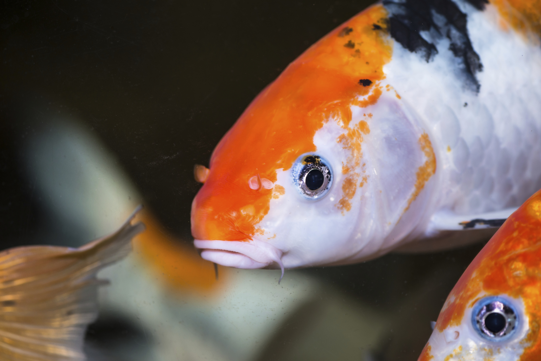 How to care for koi fish in an aquarium animals for Koi goldfish care