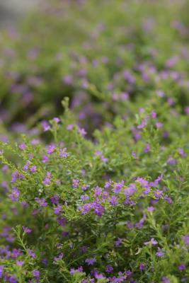 How To Grow False Heather Indoors Home Guides Sf Gate