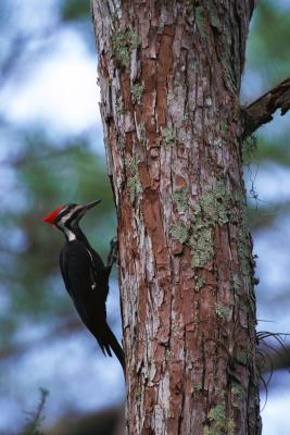 Types Of Woodpeckers In Washington Animals Mom Me
