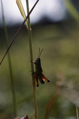 how to kill grasshoppers on plants