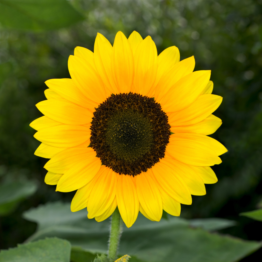 How To Care For Sunflowers Inside Home Guides Sf Gate