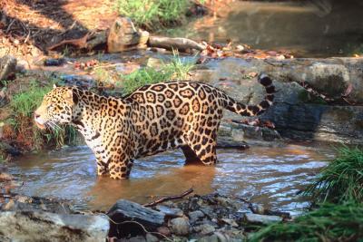 Eating Habits of the Amazon Jaguar