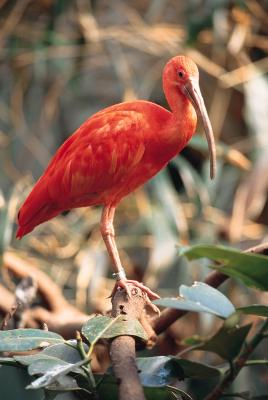 James Hurst's 'The Scarlet Ibis' Summary and Analysis