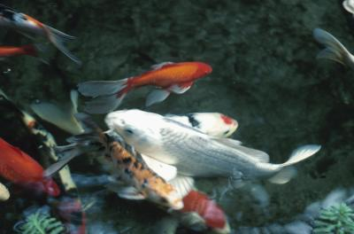 How to know if a koi fish is male or female animals for Male koi fish