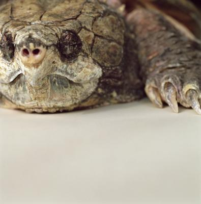 How Do I Keep Abandoned Snapper Turtle Eggs Alive? Animals - mom.me