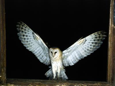 What do barn owls usually eat animals for Do owls eat fish