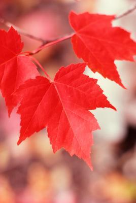 Autumn Blaze Maple Problems Home Guides Sf Gate