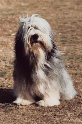 Differences Between A Polish Lowland Sheepdog Amp Bearded