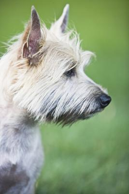 How To Correct A Biting Cairn Terrier Puppy Dog Care