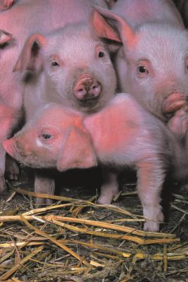What Is The Smallest Kind Of Pig You Can Get As A Pet Animals Mom Com,How To Get Oil Stains Out Of Clothes With Baking Soda