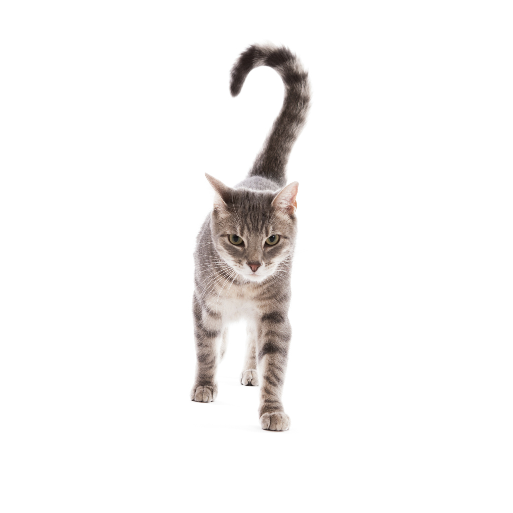 Remedy For A Cat Chewing Its Tail