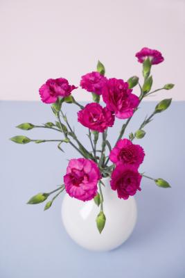 how to grow carnations indoors