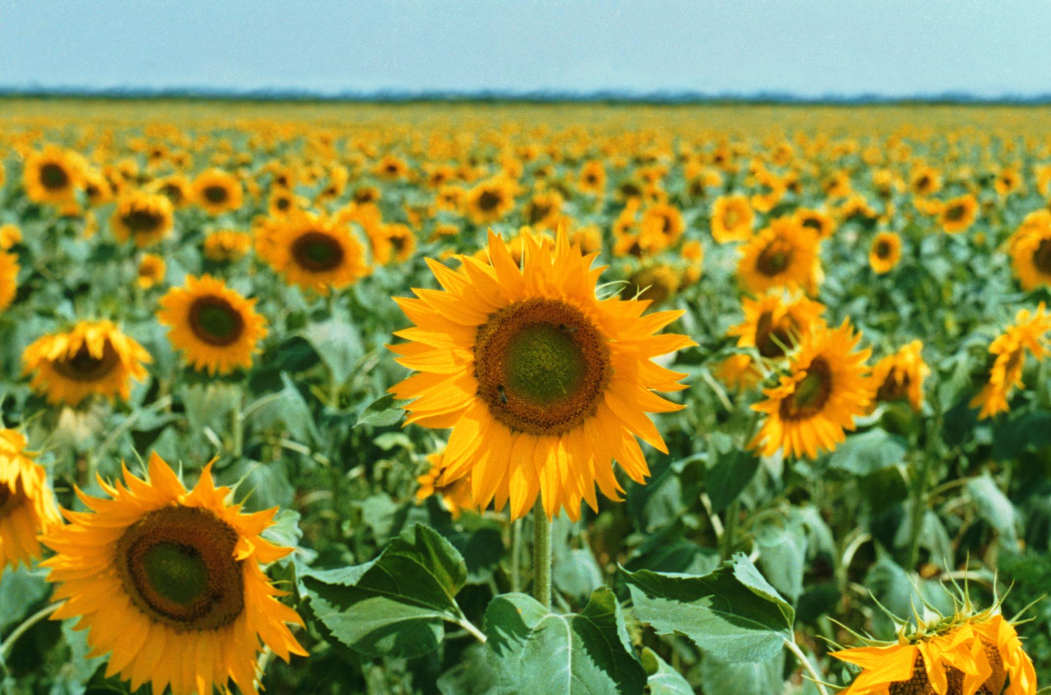 Flowers That Turn Toward the Sun