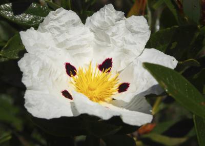 Can A Rock Rose Bush Be Cut Back Home Guides Sf Gate