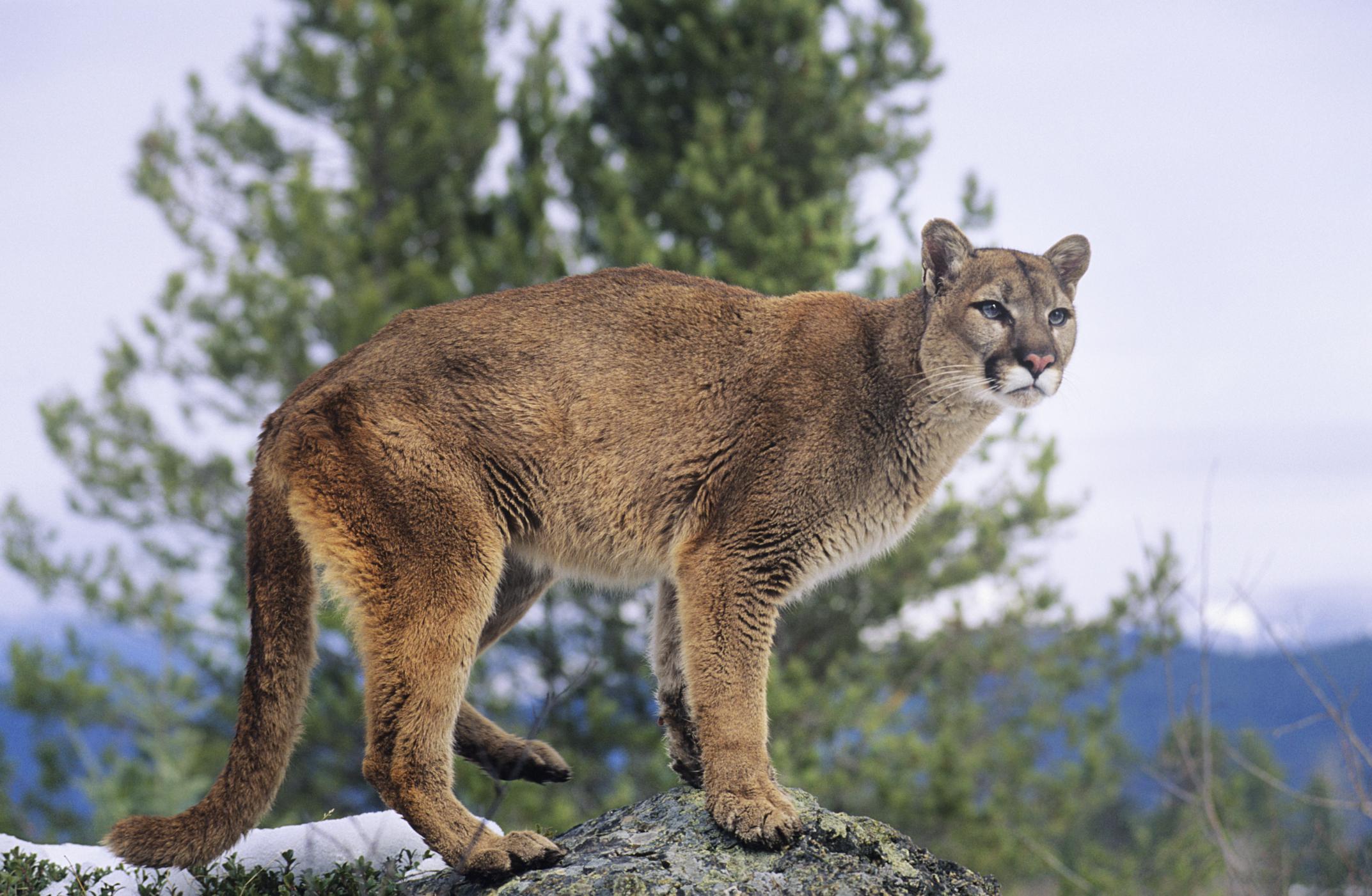 Arizona cougars