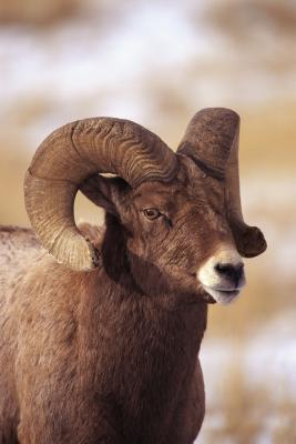 Can Dogs Eat Rams Horns