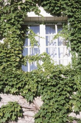 How To Grow Ivy On Walls Home Guides Sf Gate