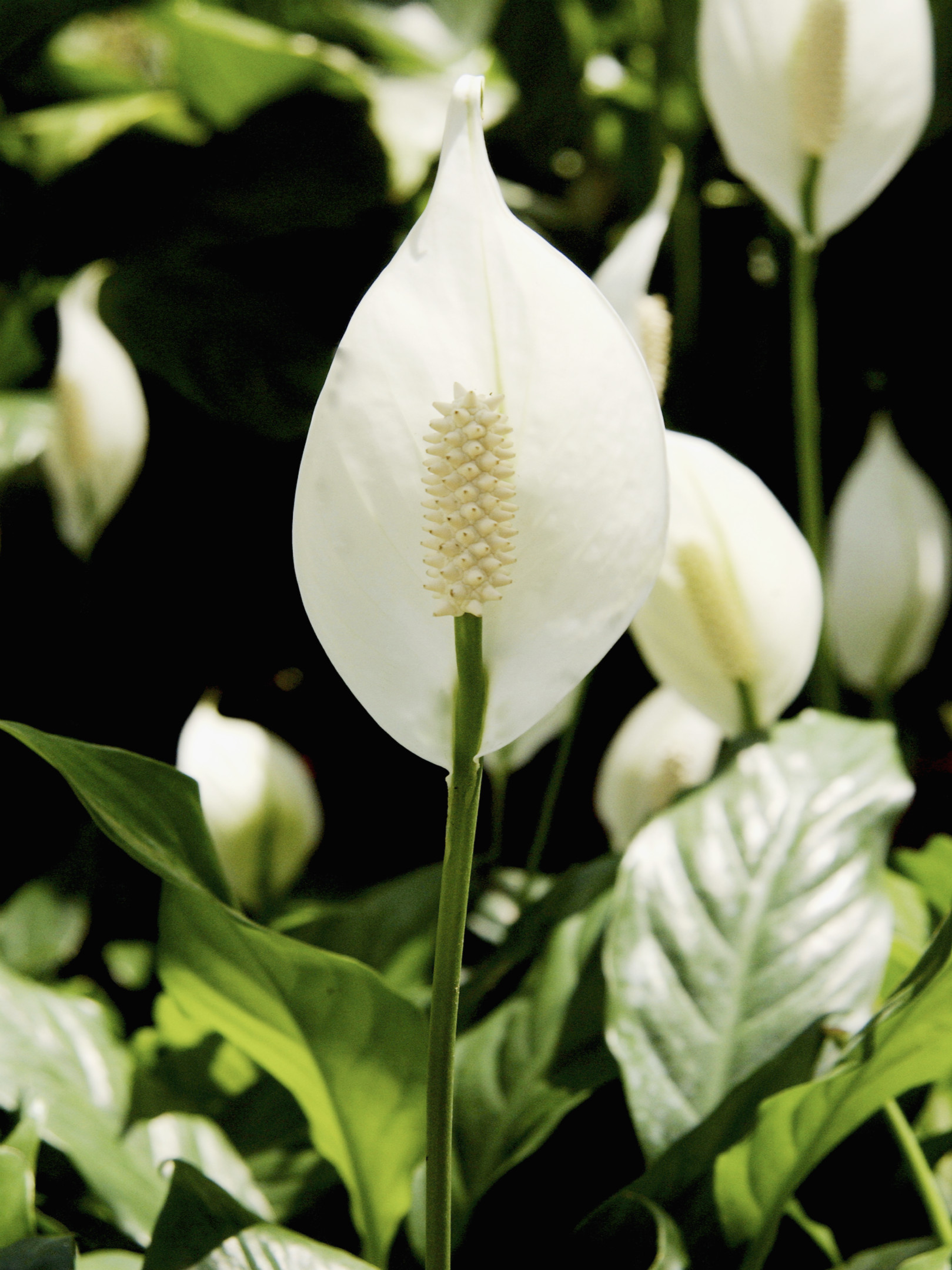 Why are my peace lily blossoms turning brown home guides sf gate izmirmasajfo