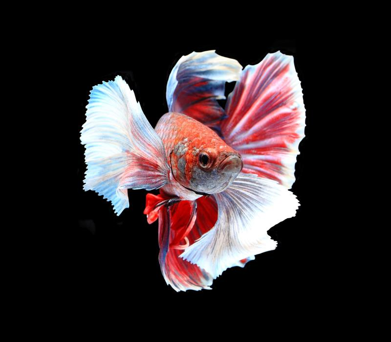 Facts About Crowntail Male Betta Fish Pets
