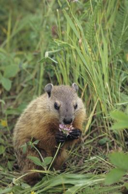 Marmots Vs Ground Squirrels Animals Mom Me
