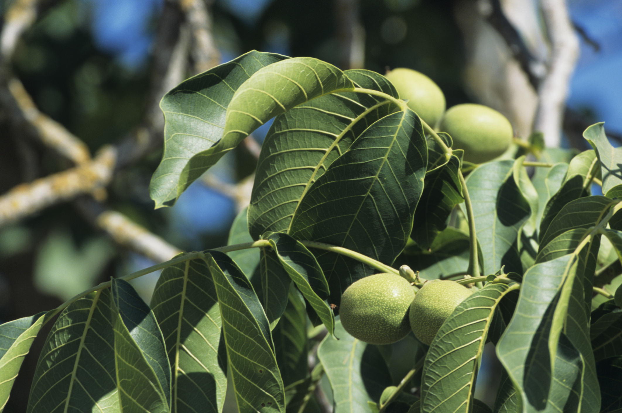How to Grow Black Walnut From Nuts | Garden Guides