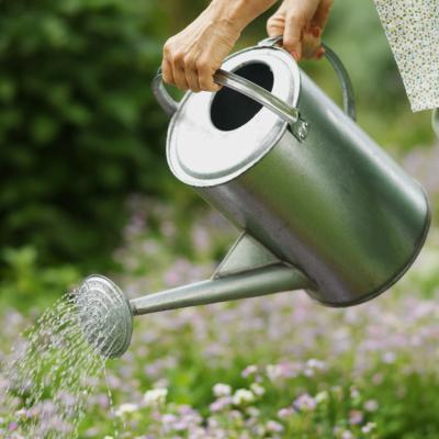 How often do you water a bridal veil plant home guides - How often to water vegetable garden ...