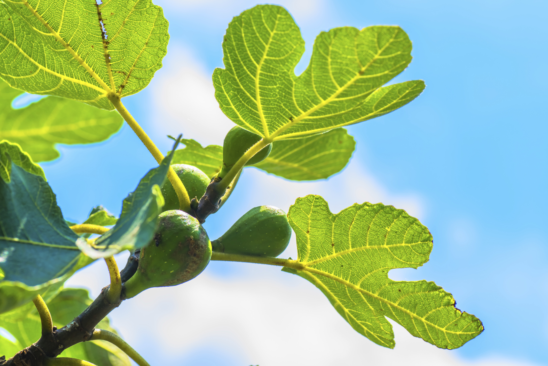 nutrition benefits of fig leaves livestrong com