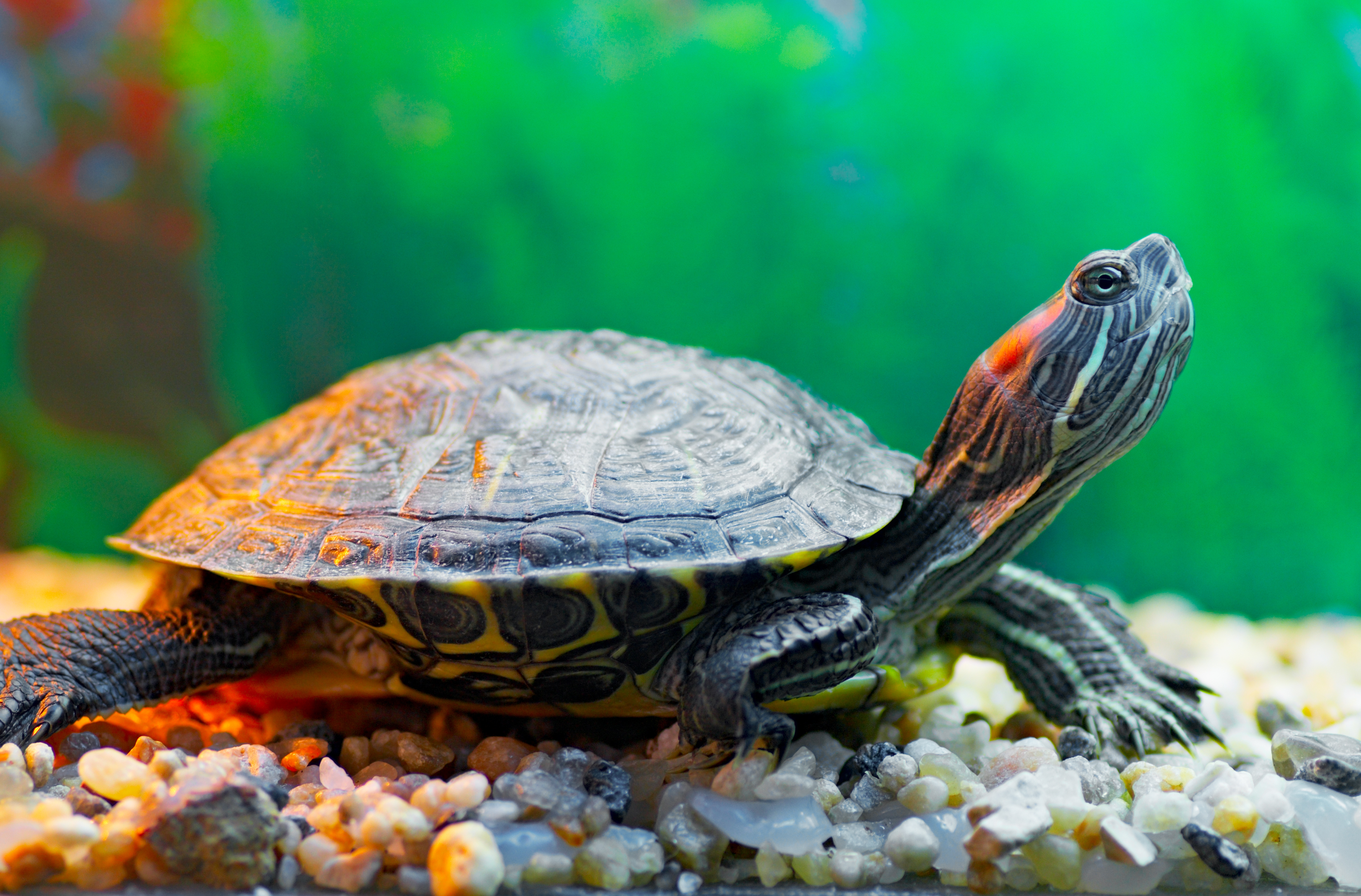 How to Identify Pet Turtle Species